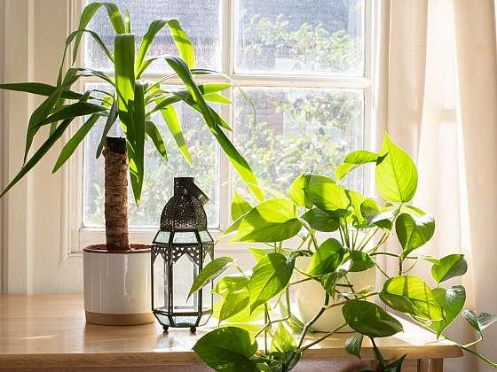 Juky milují světlo, takže se jim bude líbit přímo u prosluněného okna (Zdroj: Depositphotos)