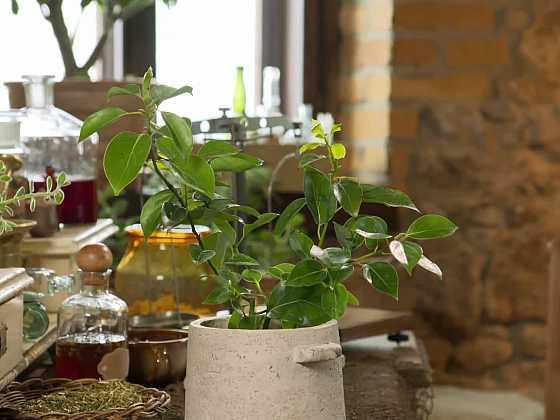 Domácí pěstování kafrovníku je nenáročné (Zdroj: Prima DOMA)