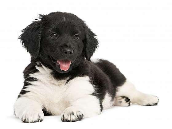Z Nizozemí pochází i další sympatické lovecké plemeno. Stabyhound je vzhledem ke své povaze vhodný jako rodinný pes (Zdroj: Depositphotos)
