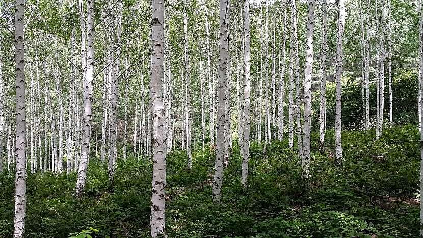 Břízu bělokorou (Betula pendula) si není možné splést s jiným stromem