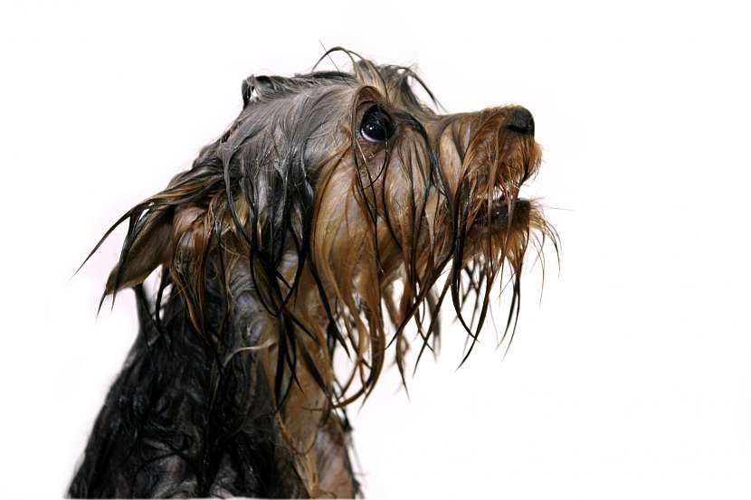 Zmoklý pes