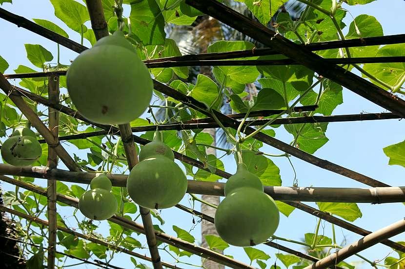 Pěstování okurky