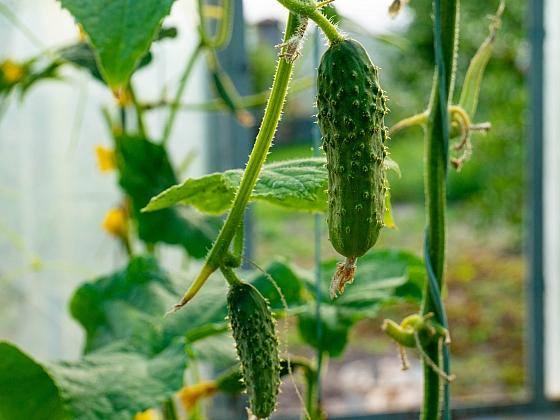 Okurky lze na balkoně úspěšně pěstovat, vyberte si ale vhodnou odrůdu (Zdroj: Depositphotos)