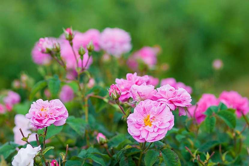Damašská růže