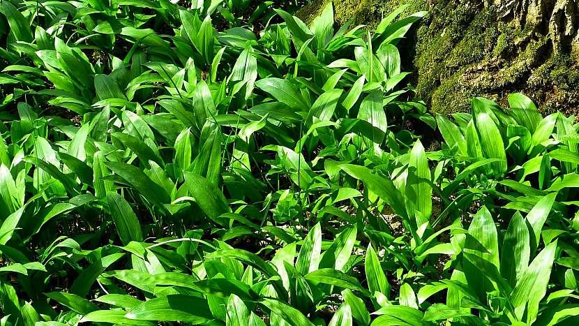 Jarní detox: medvědí česnek (Allium ursinum) roste volně v přírodě