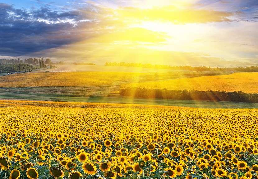 Slunečnice na poli