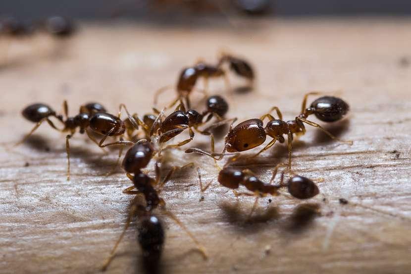 Spousta mravenců