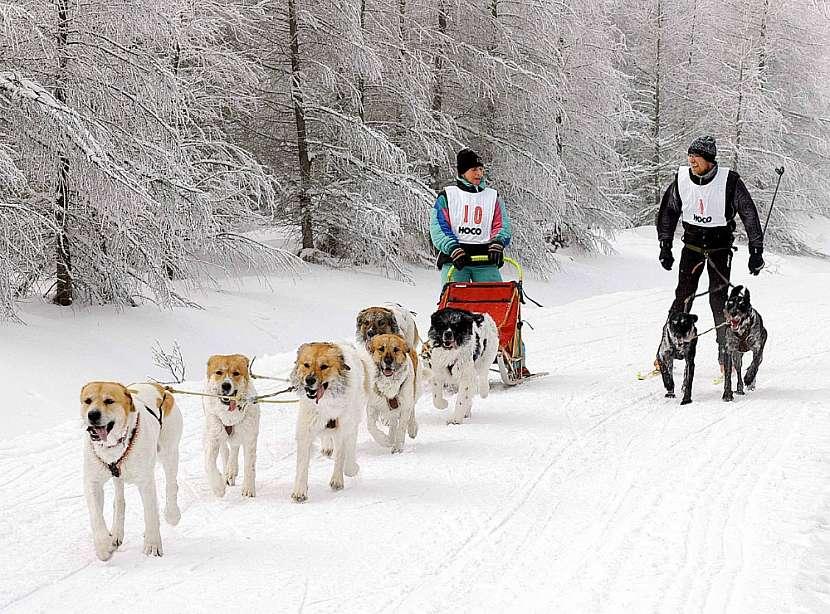 """Český horský pes je mimo jiné vynikající """"musher"""""""
