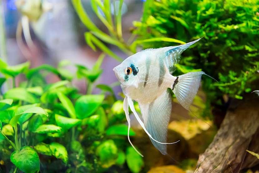 Skalára v akváriu