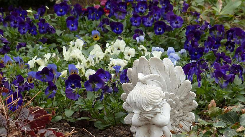 Macešky jsou tradiční květinou na hrob