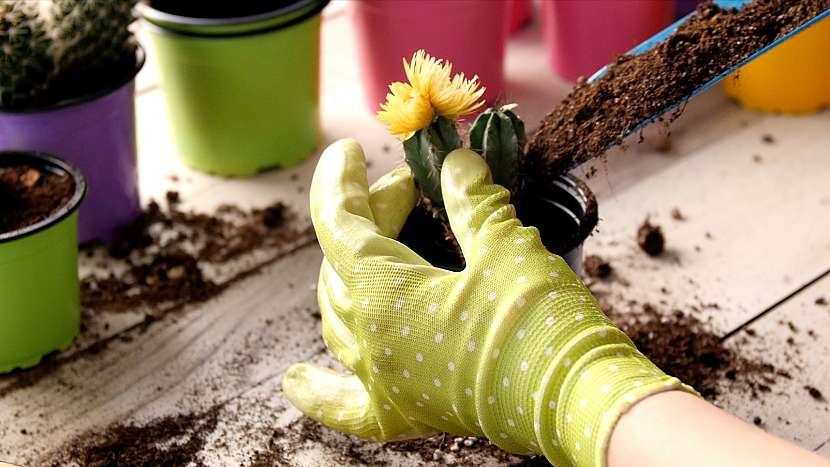 Přesazování kaktusů: do nového květináče vložte kaktus tak,aby kořeny nebyly pokroucené