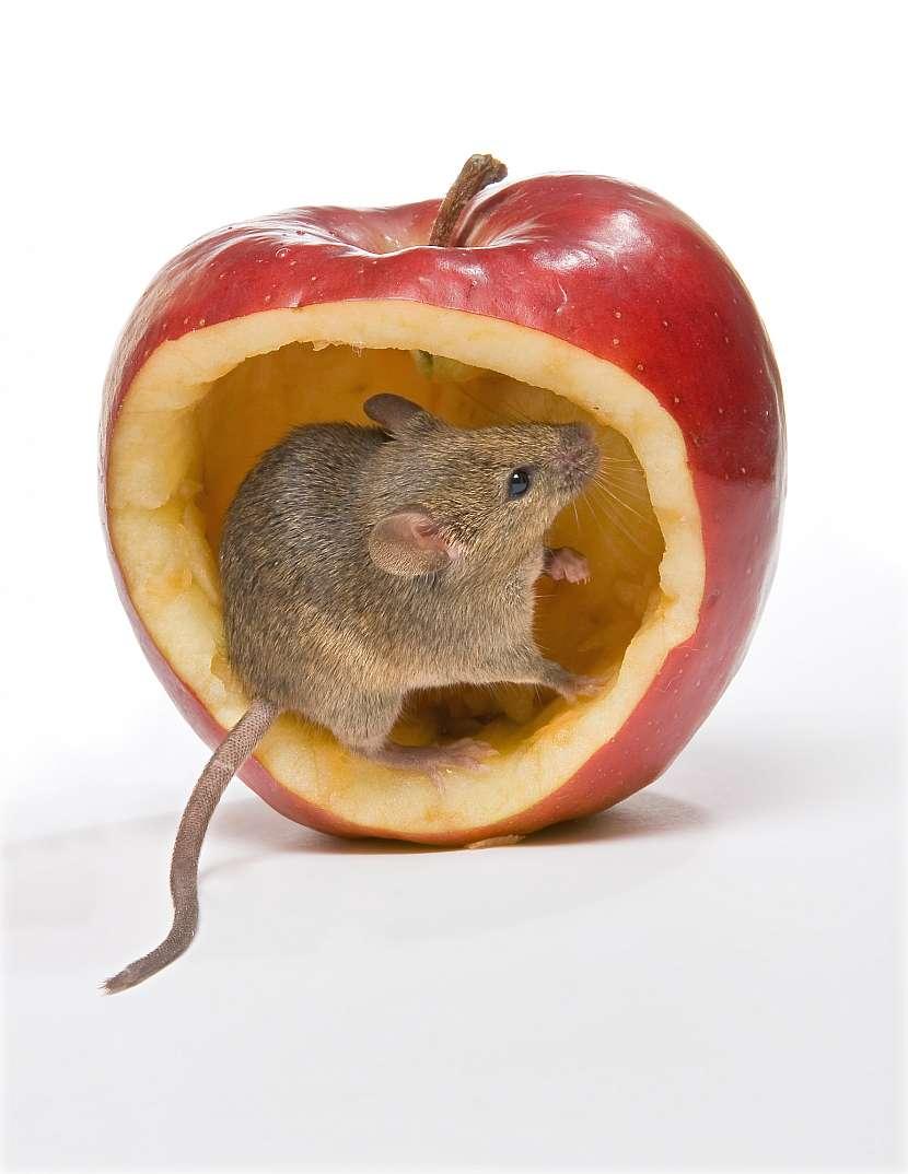 Myš v jablku