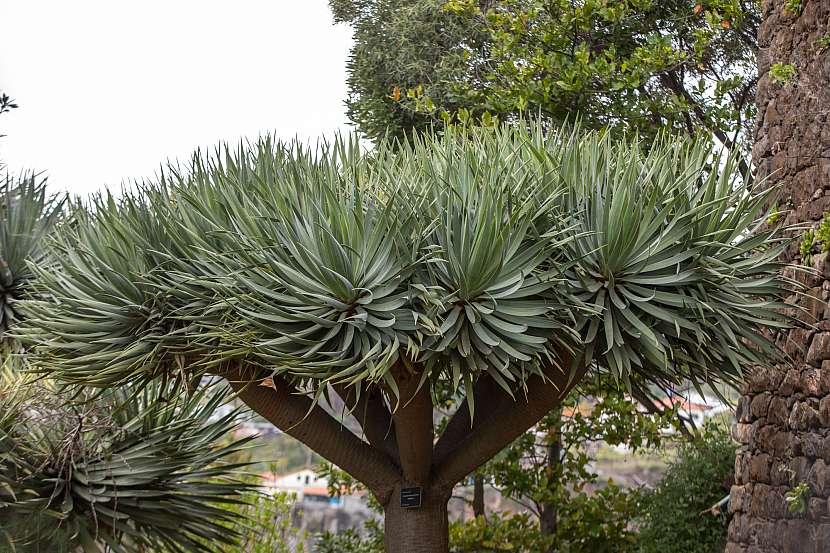 Juka - strom