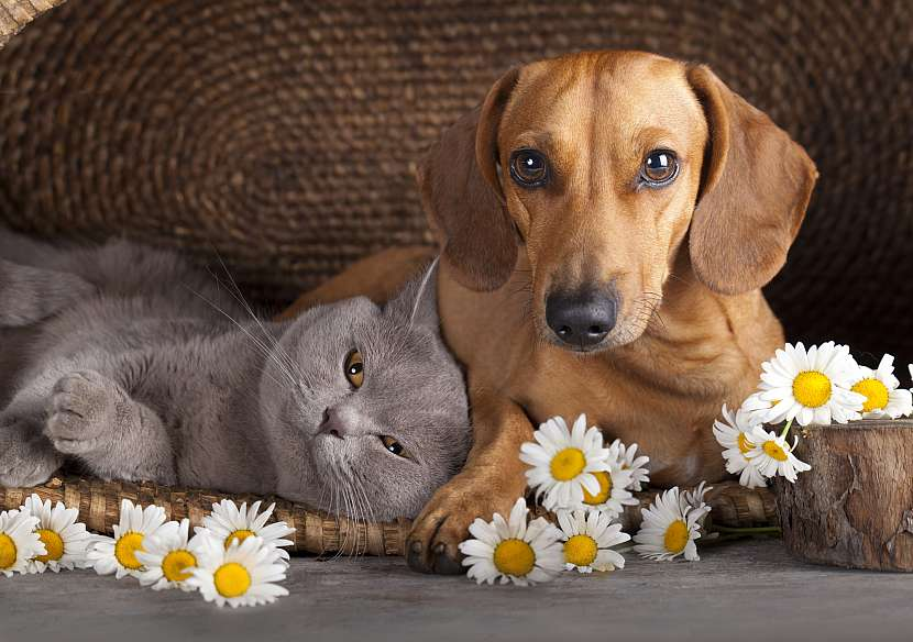 Jezevčík a modrá kočka