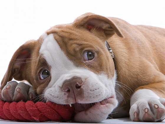 S výchovou je třeba ale začít ihned, když si štěně přivedete domů (Zdroj: Depositphotos)