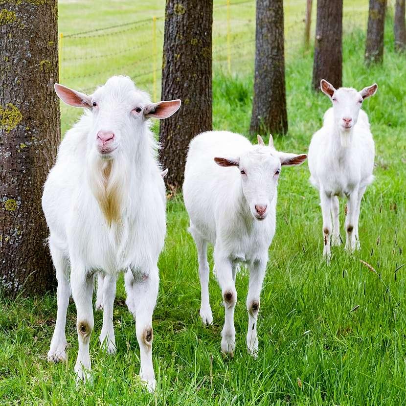 Tři kozy
