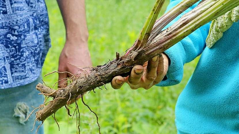 Lopuch: kořen se sklízí na podzim nebo brzy zjara