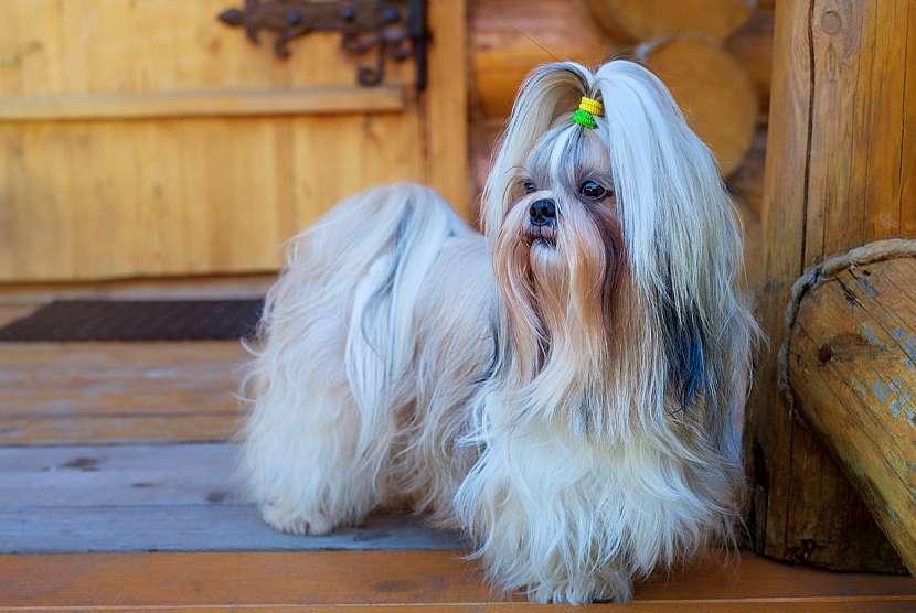 Shih-tzu jsou klidní a naprosto neagresivní psi