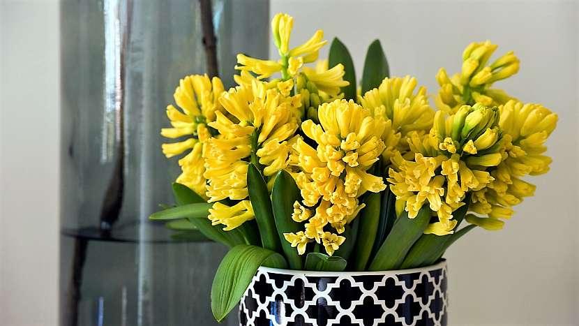 Aby kytice vydržela dlouho krásná: hyacint (Hyacinthus L.) ve váze