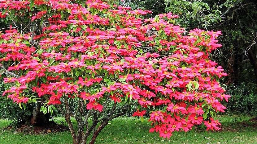 Vánoční hvězda (latinsky Euphorbia pulcherrima)pochází z Mexika, kde roste jako strom