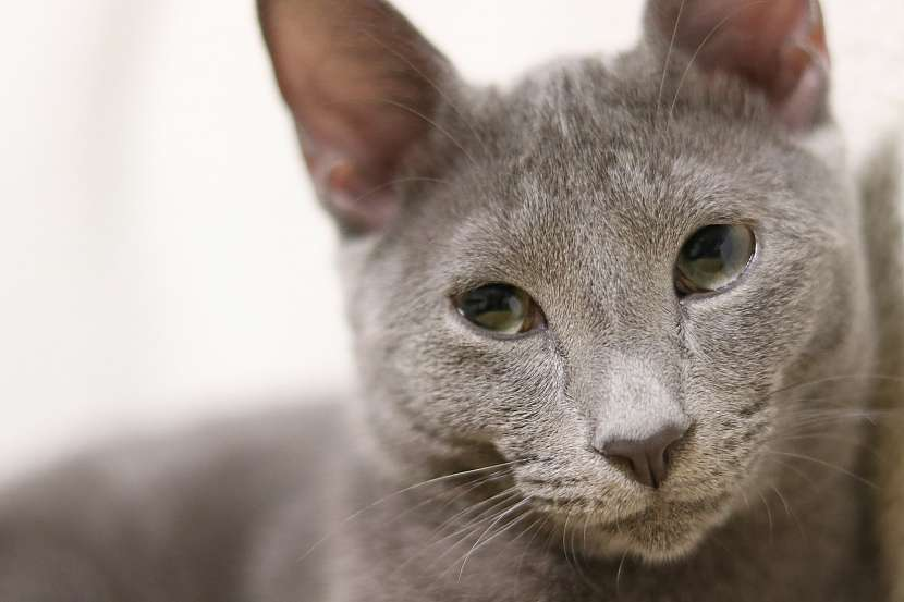 Ruská modrá kočka má vždy zelené oči