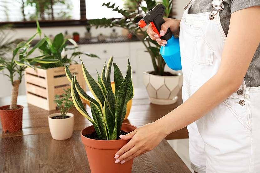 Tchýnin jazyk patří k těm nejoblíbenějším pokojovým rostlinám a jde rovněž i o jednu z nejlepších čističek, které se postarají i o váš dobrý spánek