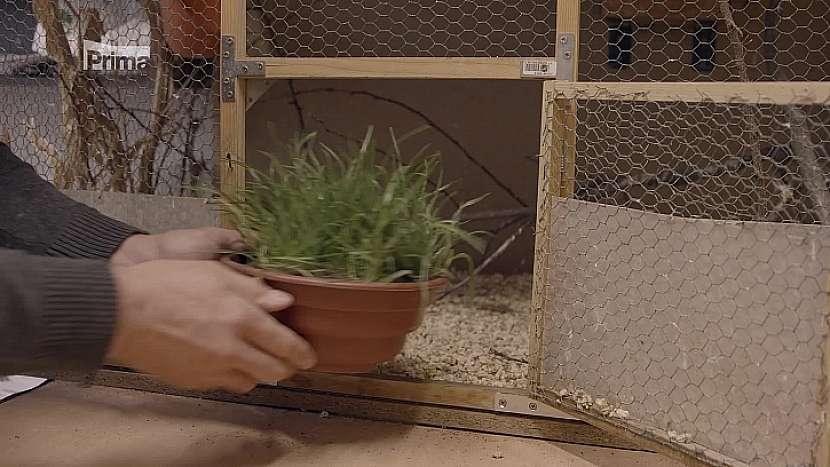 Kočičí tráva
