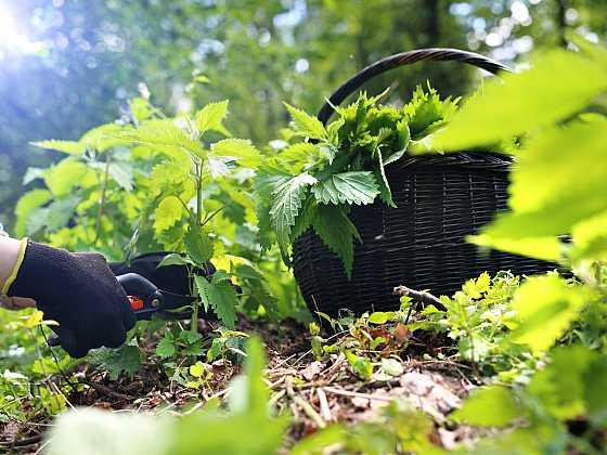 Z čerstvých kopřiv si můžeme vyrobit sirup nebo si bylinu nasušit (Zdroj: Depositphotos)