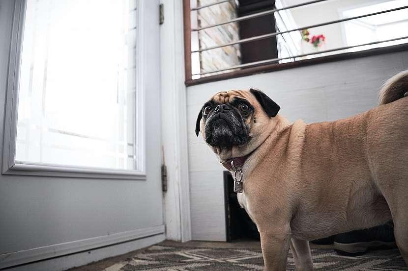 pes_sam_doma1