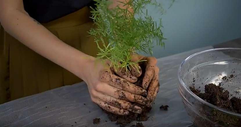 Kokedama z asparágusu: vytvořte kouli