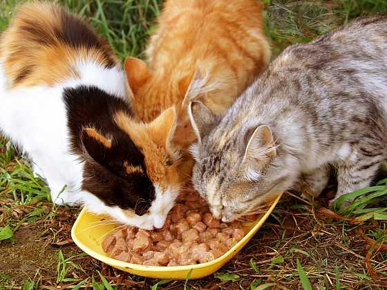 Venkovní kočky krmte kvalitní a vyváženou stravou, pokud možno bez alergenů a s vysokým podílem masa (Zdroj: Depositphotos)