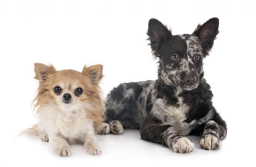 Dva psi