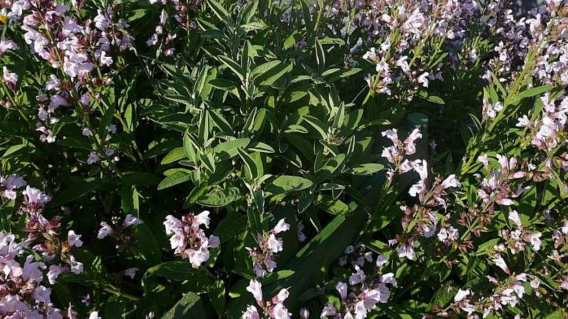 Kvetoucí šalvěj