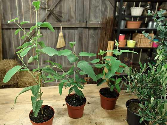 Eukalyptus a olivovník: Exoti, které spojuje dlouhověkost