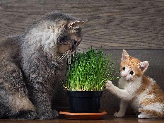 Kočky s velkou vášní rády ožírají pokojové rostliny, zabránit tomu může kočičí tráva, pro niž mají velkou slabost. Vypěstujte jim ji a zachraňte své pokojovky (Zdroj: Depositphotos (https://cz.depositphotos.com))