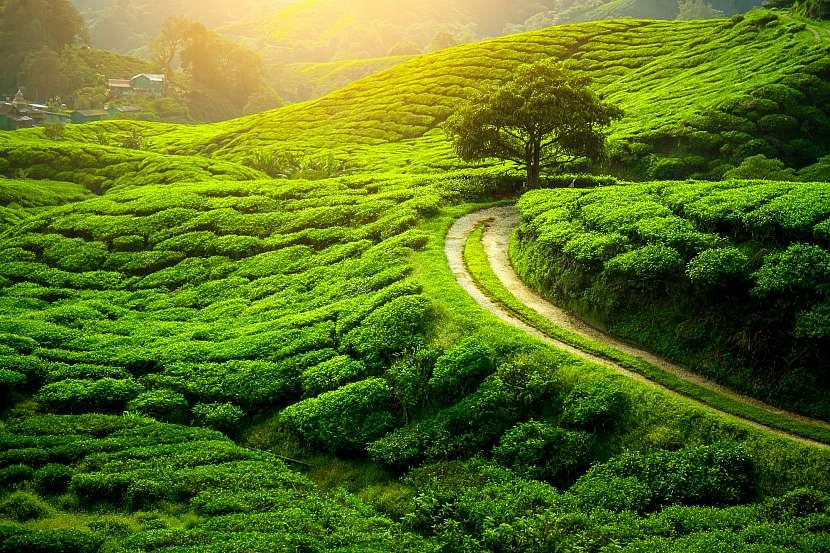 Čajové plantáže