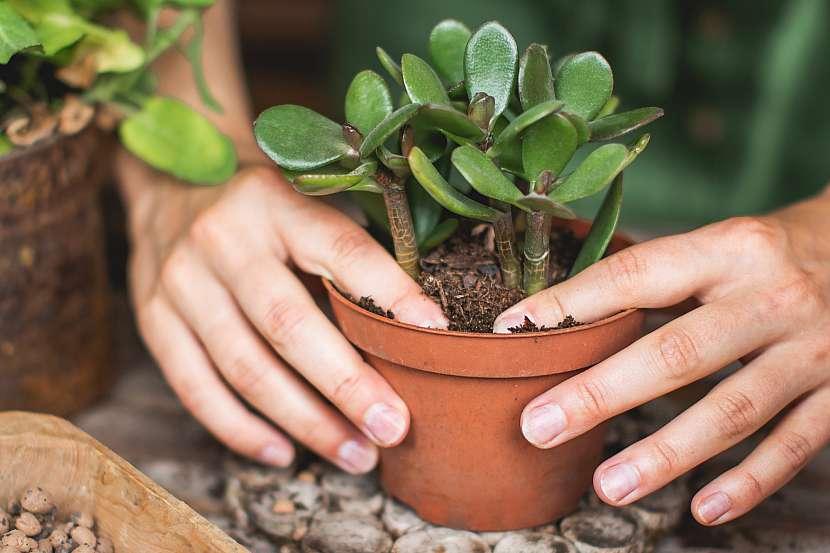 Zahradník sází tlustici do květináče