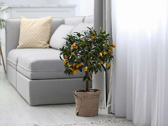 U citrusů je aklimatizace nesmírně důležitá, zajistí to jejich dlouhodobě dobrý stav (Zdroj: Depositphotos (https://cz.depositphotos.com))