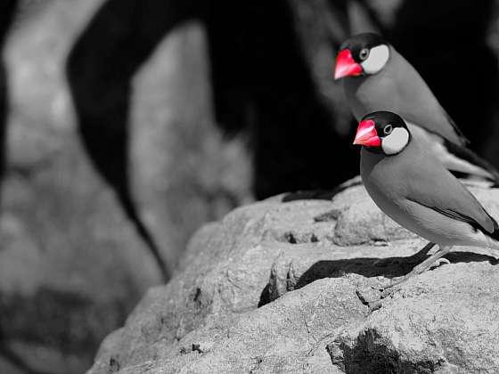 Rýžovník šedý má výraznou kresbu a jasně červený zobák (Zdroj: Depositphotos (https://cz.depositphotos.com))