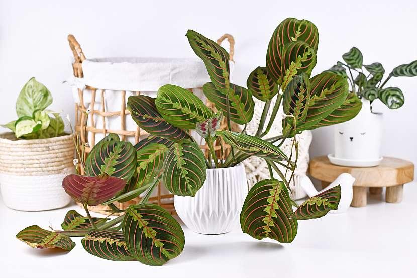 Maranta je podceňovaná kráska, kterou zdobí nádherně vybarvené listy