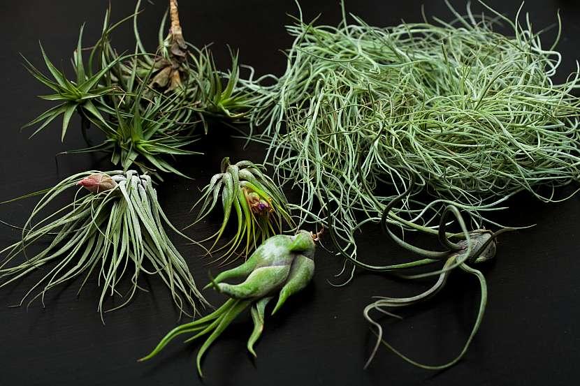 Tilandsie rostlinky