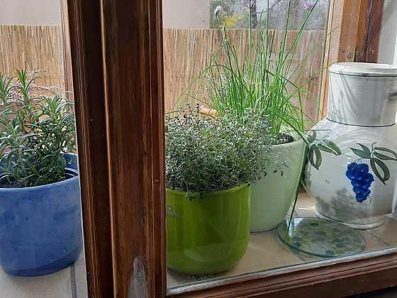 Bylinky pěstované mezi okny dobře prospívají (Zdroj: Daniela Dušková)