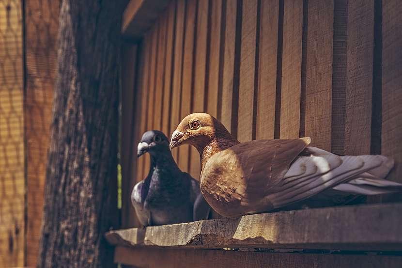 Dva holubi sedící