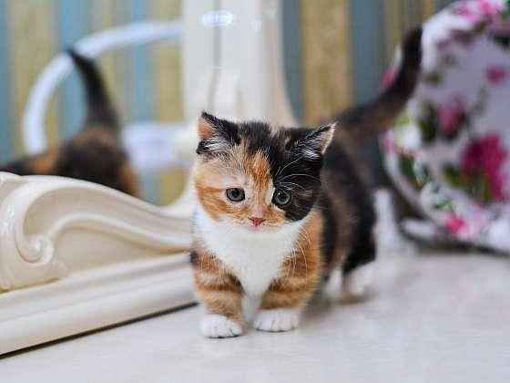 Munchkin je kočka co vypadá jako jezevčík (Zdroj: Depositphotos)