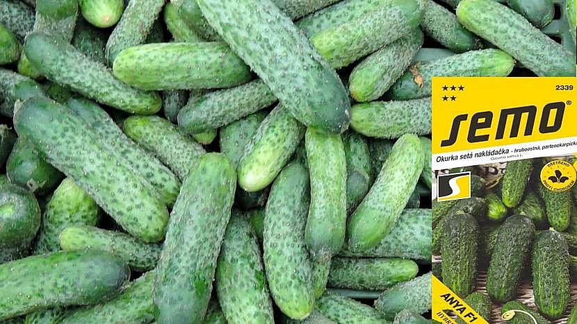 Okurka setá: odrůda ANYA F1