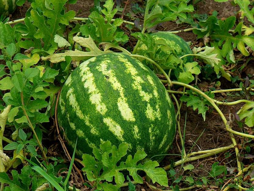 Zralý velký meloun