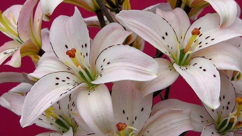 Užijte se květy lilií i doma bez bolesti hlavy a pylových skvrn: asijská lillie kultivar Spring Pink