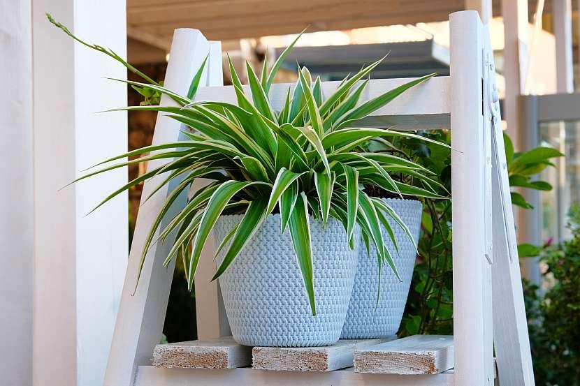 Zelenec patří ke klasickým závěsným pokojovým rostlinám, zdobí je totiž nádherná koruna listů
