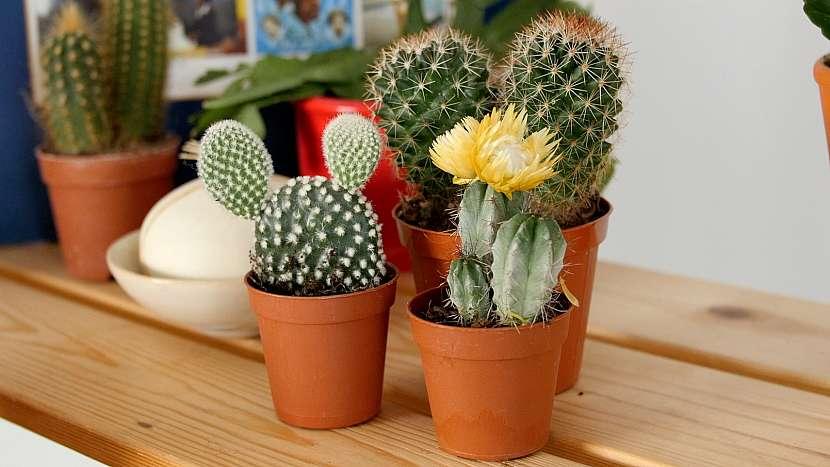 Jak přesazovat kaktusy? Opatrně, abyste se nepopíchali!
