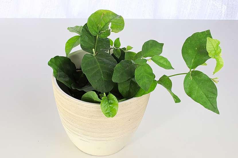Jasmín jako pokojová rostlina